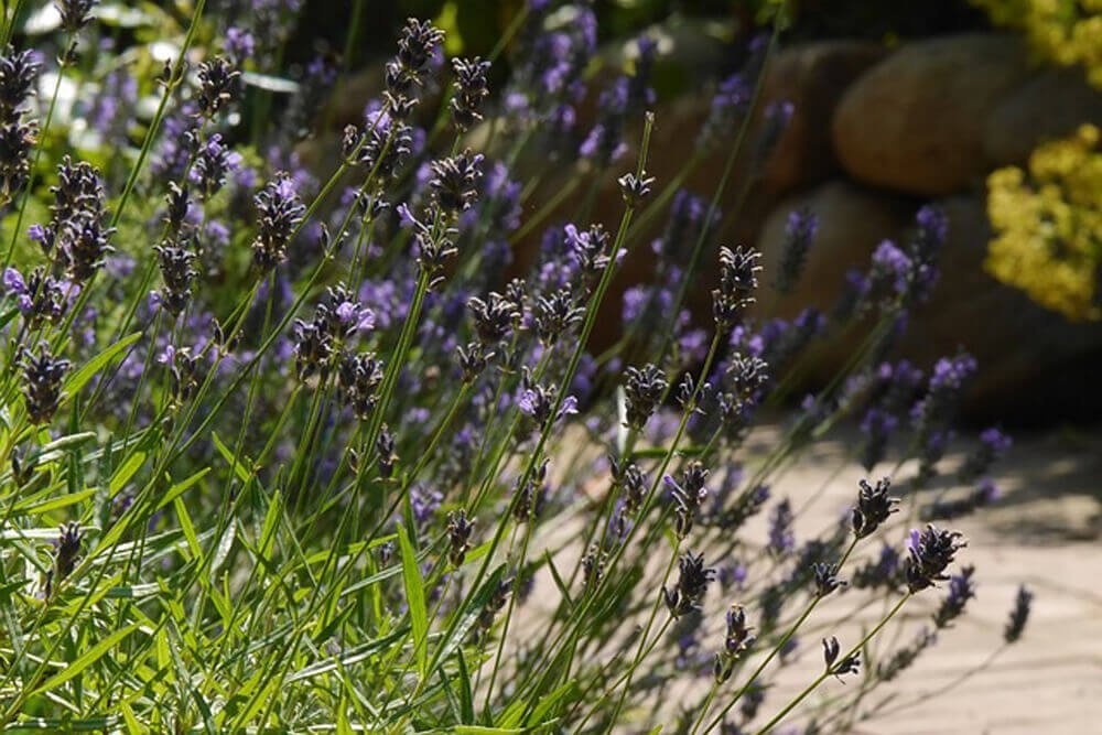 Photo of close up of lavender in garden