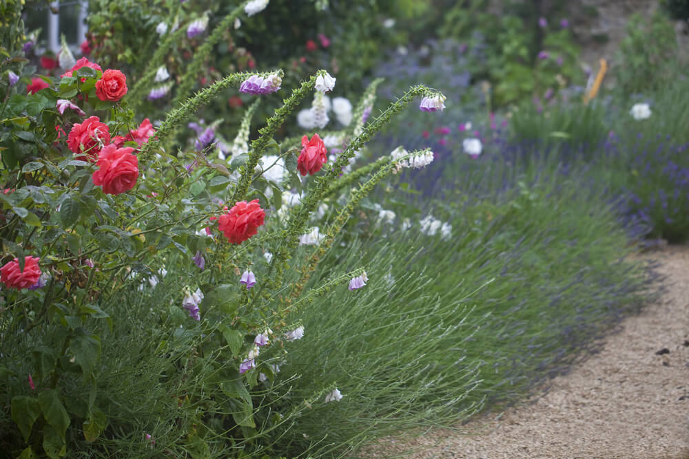 Photo of garden walkway with tulips, foxgloves and lavendar